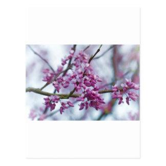 Eastern Redbud Wildflowers - Cercis canadensis Postcard