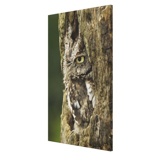 Eastern Screech Owl Gray Phase) Otus asio, Gallery Wrapped Canvas