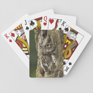 Eastern Screech Owl Gray Phase) Otus asio, Card Decks