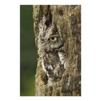 Eastern Screech Owl Gray Phase) Otus asio, Photo Art