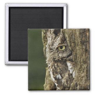 Eastern Screech Owl Gray Phase) Otus asio, Square Magnet