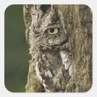 Eastern Screech Owl Gray Phase) Otus asio, Square Sticker