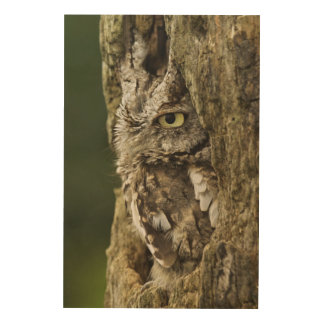 Eastern Screech Owl Gray Phase) Otus asio, Wood Prints