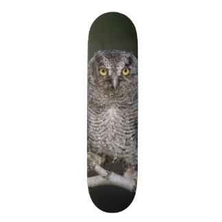 Eastern Screech-Owl, Megascops asio, Otus 2 Skateboards
