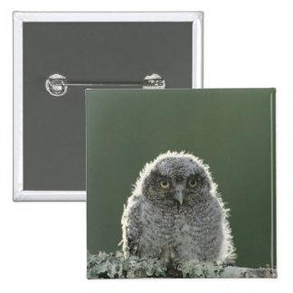 Eastern Screech-Owl, Megascops asio, Otus 3 Pinback Button