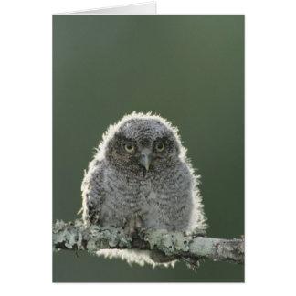 Eastern Screech-Owl, Megascops asio, Otus 3 Card