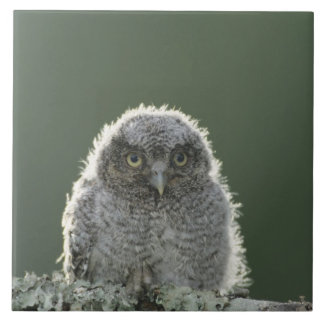 Eastern Screech-Owl, Megascops asio, Otus 3 Large Square Tile