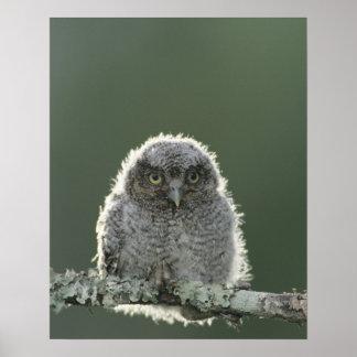 Eastern Screech-Owl, Megascops asio, Otus 3 Poster