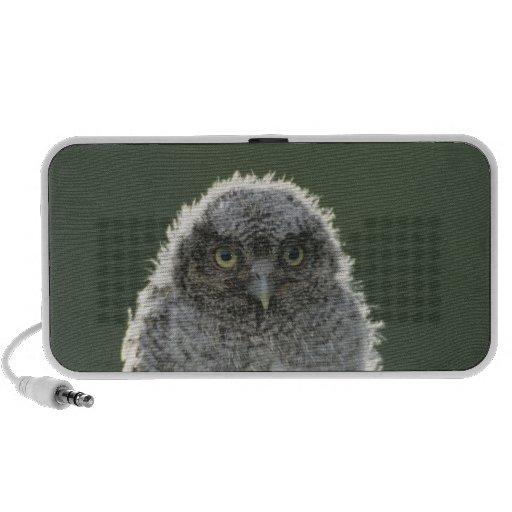 Eastern Screech-Owl, Megascops asio, Otus 3 Speakers