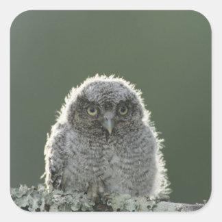 Eastern Screech-Owl, Megascops asio, Otus 3 Square Sticker