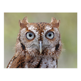 Eastern Screech Owl Photograph Postcard