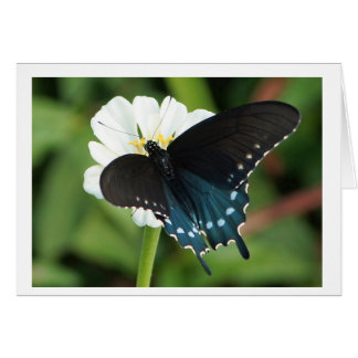 Eastern Swallowtail Butterfly on white zinnia Card
