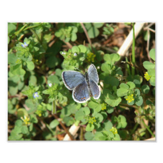 Eastern-tailed Blue Butterfly Photo Print.
