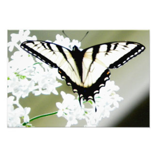 Eastern Tiger Swallowtail Butterfly Photo