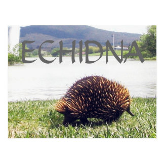 ECHIDNA animal nature customize personalize Postcard