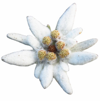 Edelweiss Alpine Flower Standing Photo Sculpture