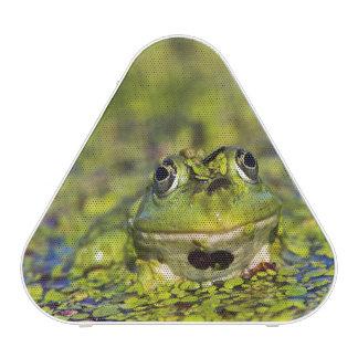 Edible Frog in the Danube Delta