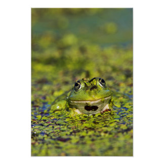 Edible Frog in the Danube Delta Posters