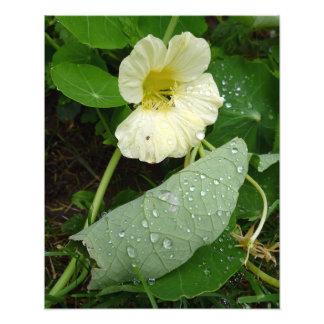 Edible Garden Nasturtium in the Morning Dew Art Photo