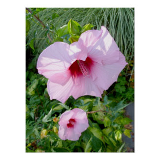 Edible Giant Hibiscus Flower Poster