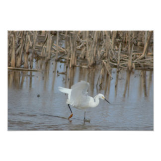 Egret Bird with Wings Spread Poster