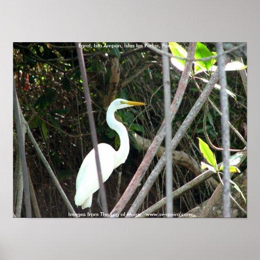 Egret, Isla Ampon, Islas las Perlas, Panama Posters