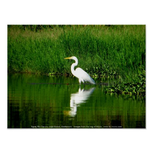 Egret, Rio Oscuro, Lago Izabal, Guatemala Print