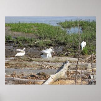 Egrets on the Marsh Poster