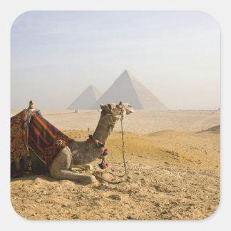 Egypt, Cairo. A lone camel gazes across the Square Sticker