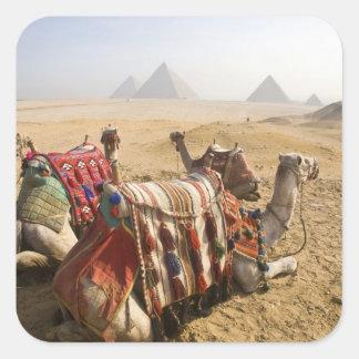 Egypt, Cairo. Resting camels gaze across the Square Sticker