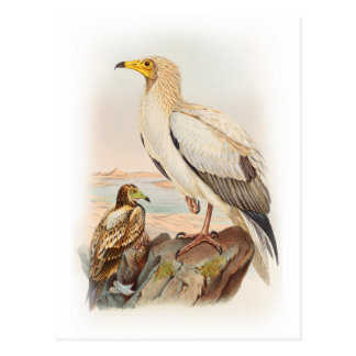 Egyptian Vulture John Gould Birds of Great Britain Postcard