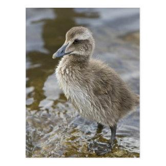 Eider chick in a pond in Reykjavik, Iceland. Postcard