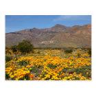 El Paso Poppies Postcard