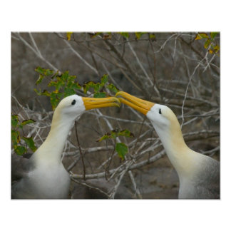 Elaborate courtship dance of Waved Albatros, Poster