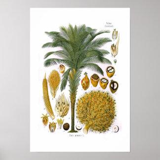 Elaeis guineensis (oil palm) poster
