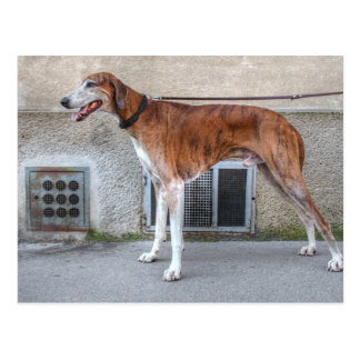Elder Brindle Greyhound Postcard