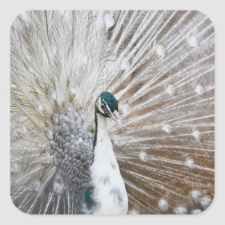 Elegant Albino Peacock Square Sticker