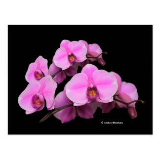 Elegant Pink Orchids Phalaenopsis on Black Postcard