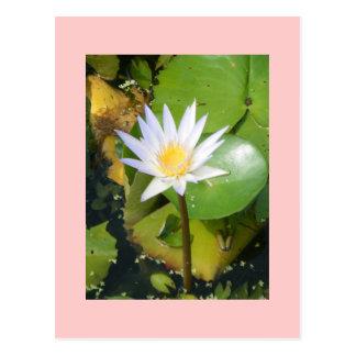Elegant Water Lily Postcard