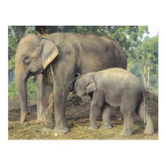Elephant breeding center chitwan - babby and mommy postcard