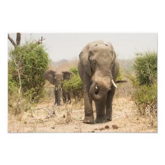 Elephant dusting himself down photographic print