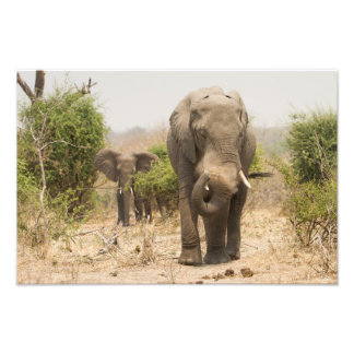 Elephant dusting himself down photographic print