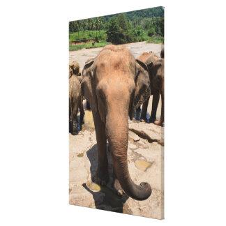 Elephant group portrait, Sri lanka Canvas Print