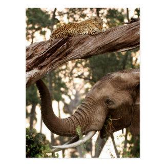 Elephant (Loxodonta) Testing Scent Of Leopard Postcard