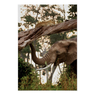 Elephant (Loxodonta) Testing Scent Of Leopard Poster