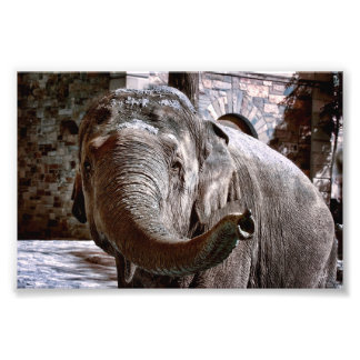 Elephant Pointing Forward with the Trunk Photo Print