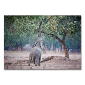 Elephant reaching for Acacia tree Card