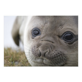 Elephant seal Mirounga leonina) cub in the Photo