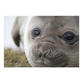Elephant seal Mirounga leonina) cub in the Photo Print