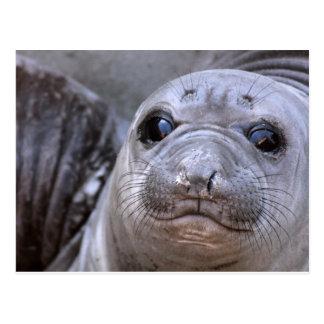 Elephant Seal Pup Postcard